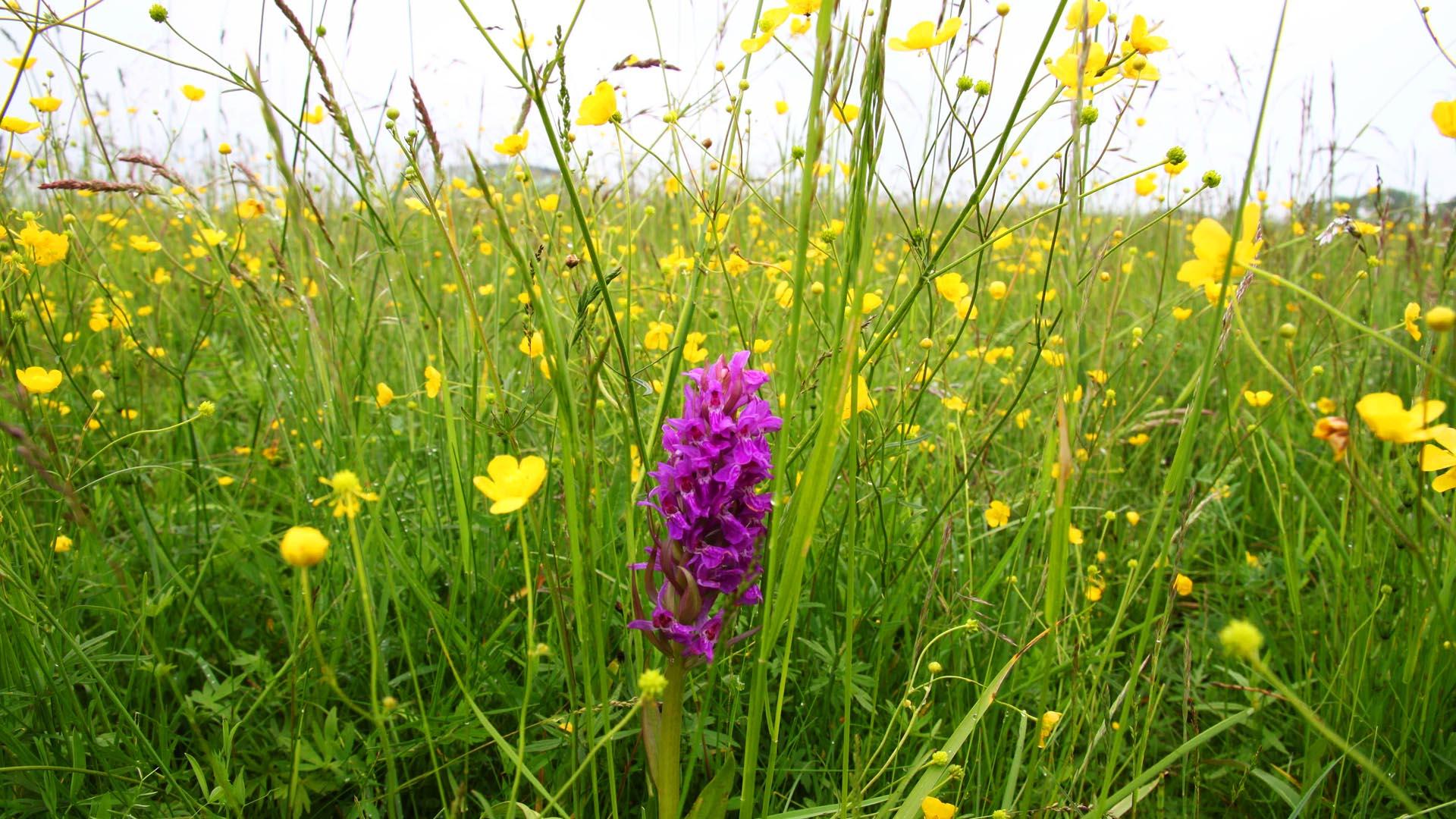 MoorFutures Brandenburg - Regionalität Orchidee